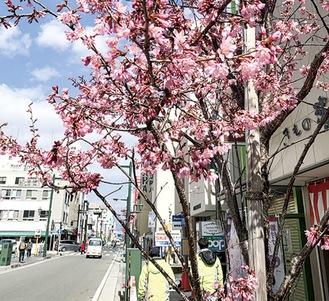 可憐なピンク色のおかめ桜