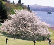 雄大な一本桜、今年も