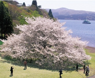 そびえ立つ一本桜(写真は過去・提供)