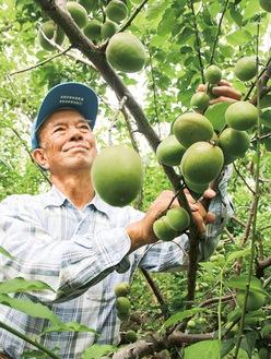 上曽我の梅林で星野会長が白加賀を収穫(5月24日)