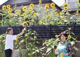 太陽に向かってヒマワリが咲き誇る(7月24日撮影)