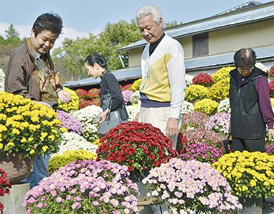 1200鉢のざる菊公開
