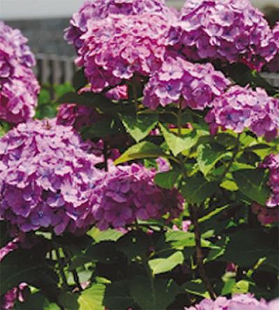 小田原城の紫陽花いつまでも綺麗に