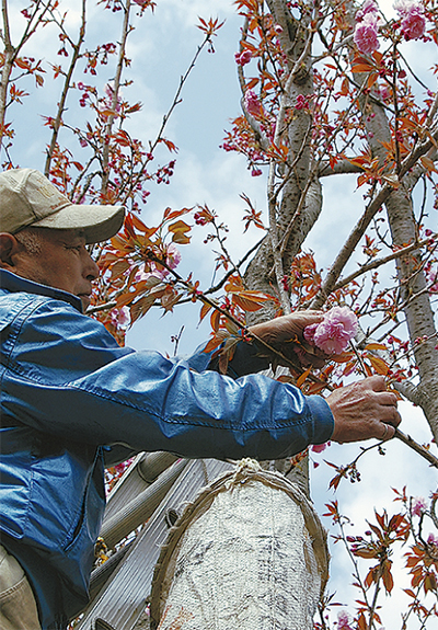地元産の桜花漬け全国へ