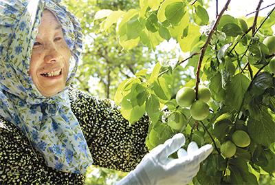 「今年の梅は果肉が厚い」