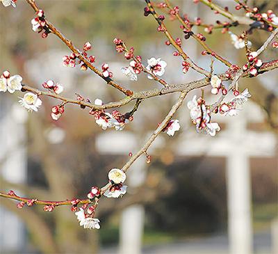 開花進む梅の花