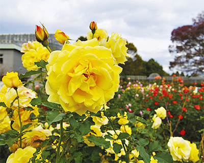 美しさ増す秋バラ