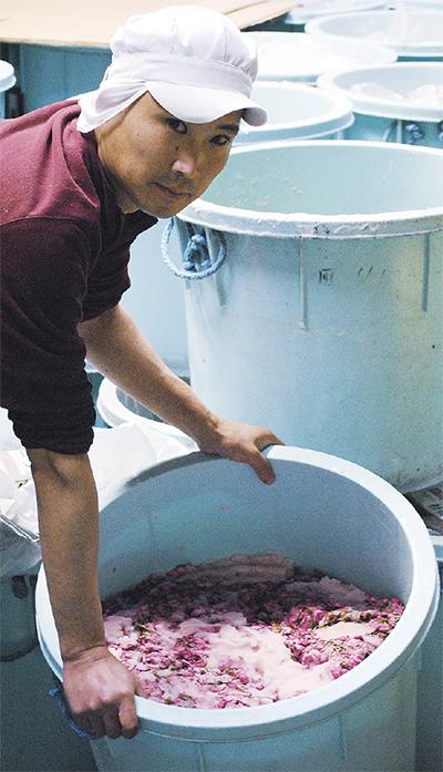 桜色に染まる漬物工場