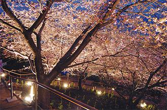 桜のライトアップも始まった