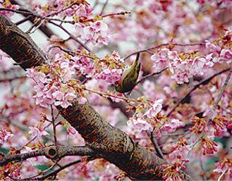 鮮やかなピンク色の花(昨年)