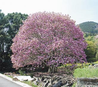 鮮やかな紫が里山に映える