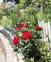 オーガニックなバラの花園とベジタブル&フルーツガーデン