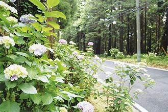 咲き出した色とりどりの参道のアジサイ(6月21日時点で五分咲き)