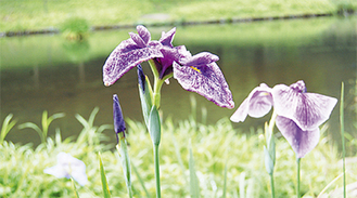 水辺に映える紫色の花