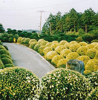 毎年楽しみにしている人も多い鈴木さん宅の「ざる菊園」