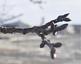 浄土寺に植樹された河津桜 (陸前高田市で1・28撮影)