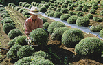 農園のざる菊を寄贈する鉢に移植する古屋さん