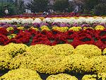 満開時には見事な花が =昨年、南足柄市内