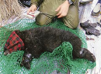 麻酔で眠らされたクマ