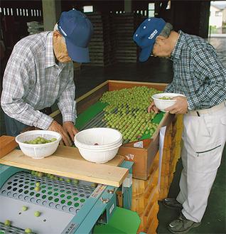 小梅を大きさごとに選別する作業