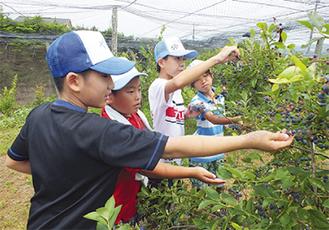 ブルーベリーを収穫=大井町