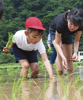 上級生が下級生に手ほどきしながら丁寧に稲を植えた=28日・用沢地区の水田