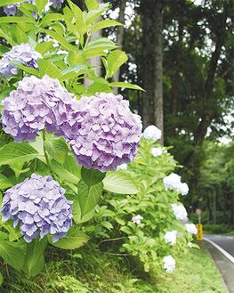 杉並木の緑色にアジサイの花が映える=25日・最乗寺あじさい参道