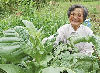 タバコの葉と笑顔の小島さん=19日・大井町篠窪の畑
