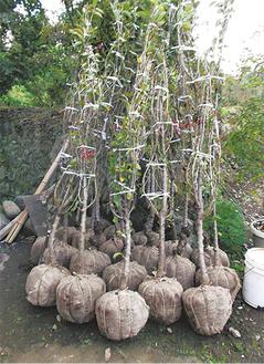 根巻きと葉摘みをして送られた春めきの苗木