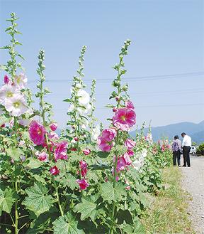 6月中旬まで色鮮やかな花が楽しめる=27日・ハナアオイ農道