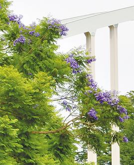 ジャカランダの木が花を咲かせる=22日に撮影