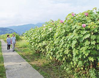 まだ二分咲きだが、祭り期間中には見ごろを迎える=15日・酔芙蓉農道