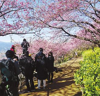 見頃を迎えた松田山の河津桜 =松田山・17日