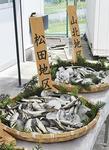 今年は天然の遡上も多く確認されている =小田原市桑原の漁協で