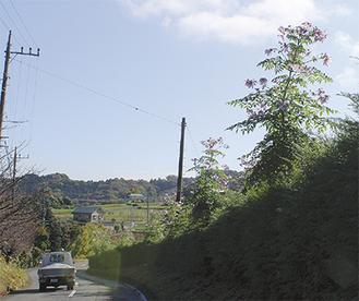 道路に沿って植えられている=11月22日撮影
