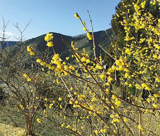 ひときわ目立つ早咲きの木 =11日撮影