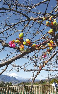 つぼみが膨らむ河津桜 =11日撮影