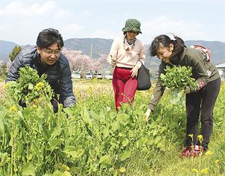 満開の桜を背景に水菜を摘む来場者