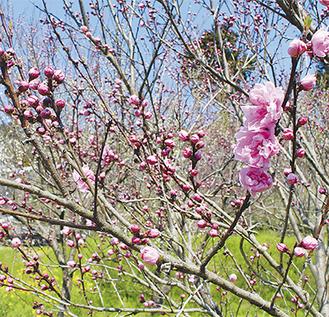 足柄峠のふもとにある苅野原っぱの花桃=4月5日