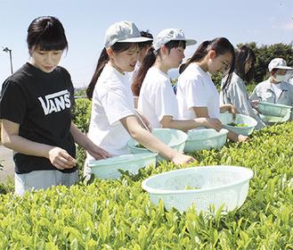 1芽ずつ丁寧に茶葉を摘み取る生徒 =開成町