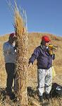 茅の束ね方を説明する東京農大の木村悦之准教授