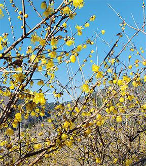 黄色い花が咲き始めた園内 =1月10日撮影
