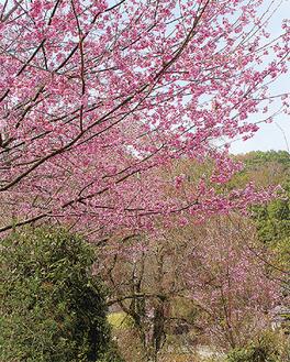 満開の大雄紅と蕾が色づき始めたしだれ桜=27日撮影