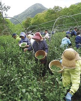 矢倉岳を望む杉山さんの茶畑