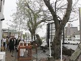 駅前の桜伐採へ