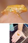 黄金色のオタマジャクシがカエルに成長した。カエルは晃人くんの親指の第一関節に乗っている