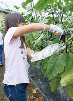 ナスを収穫する小学生 =大井町の農園