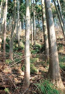 寄地区の人工林