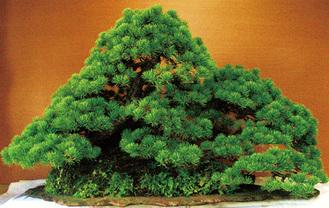 樹齢50年以上の盆栽15席を展示