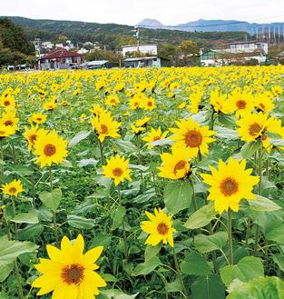 鮮やかな黄色の花畑 =ユートピア農園